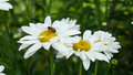 Camomile flowers and bee Royalty Free Stock Photo