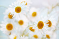 Camomile flowers bright white colors Royalty Free Stock Images