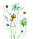 Camomile flowers colorful watercolor illustration Stock Photos