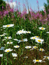 Camomile flowers and fireweed photo of chamomile in the field on a background of blue sky with clouds Stock Photos