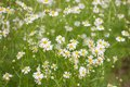 Camomile flowers group of in the nature Royalty Free Stock Photos