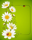 Camomile frame Royalty Free Stock Photo