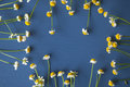 Camomile frame on a blue wooden background Royalty Free Stock Photo