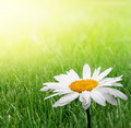 Camomile in green grass Royalty Free Stock Photo