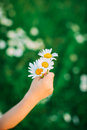 Camomile in the hand Royalty Free Stock Photo