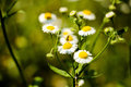 Camomile and insect white flowers Stock Photos