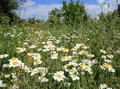 Camomile meadow nice in summer time Royalty Free Stock Photography