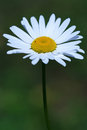 Camomile ox eye daisy white flower shot Royalty Free Stock Photos