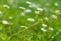 Camomile pretty blossom on the grass Stock Photo