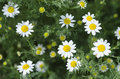 Camomiles beautiful flowers of camomile on a glade Royalty Free Stock Photography