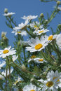 Camomiles and blue sky Royalty Free Stock Photo