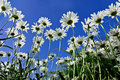 Camomiles closeup on sky background bright white blue Stock Photo