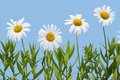 Camomiles isolated on  sky cyan Royalty Free Stock Images