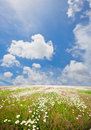 Camomiles under blue sky Royalty Free Stock Photography