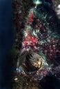 Camouflage stonefish mabul island sabah Stock Photo