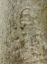 Camouflage Of A Tree Gecko