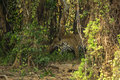Camouflage wild jaguar walking through dense jungle a is seen well camouflaged as it walks the forest between vines bushes and Royalty Free Stock Image