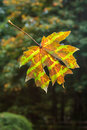 Camouflaged Fall Leaf Stock Image