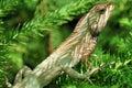 Camouflaged garden lizard Royalty Free Stock Photo