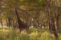 Camouflaged Giraffe Stock Image