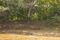 Camouflaged Jaguar Walking along Shaded Riverbank Royalty Free Stock Photo