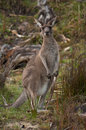 Camouflaged Kangaroo Stock Photo