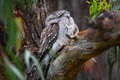 Camouflaged Tawny Frogmouth owl Stock Photo