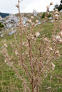 Camp thorn flower wild flower Royalty Free Stock Photo