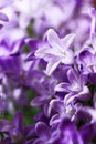 Campanula Bellflowers Stock Image