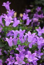 Campanula flowers or bellflowers Stock Photos