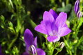 Campanula purple flowers ringtone or Stock Image
