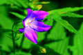 Campanula in summer wildflower field selective focus Royalty Free Stock Photo
