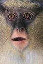 Campbell's mona monkey Royalty Free Stock Photo