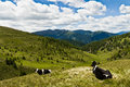 Campiler mountain south tyrol cows lying at mount Royalty Free Stock Photos