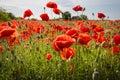 Campo del maíz poppy flowers Imagen de archivo