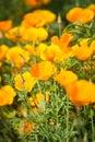 Campo del maíz poppy flowers Imagen de archivo libre de regalías
