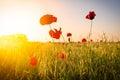 Campo do milho poppy flowers Fotografia de Stock Royalty Free