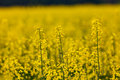 Campo do Rapeseed Imagem de Stock Royalty Free