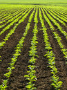 Campo do sugarbeet Foto de Stock Royalty Free
