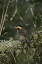 Campo flicker colaptes campestris single bird on branch brazil Stock Image