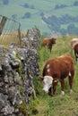 Campo inglês, vacas, grama, cerca Fotografia de Stock Royalty Free