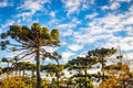 Campos do Jordao, Brazil. Araucaria tree, very tipical in the cit Royalty Free Stock Photo