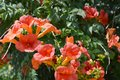 Campsis radicans trumpet vine or trumpet creeper, also known in North America as cow itch vine or hummingbird vine.