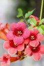Campsis trumpet creeper trumpet vine flower blossom autumn Stock Photography