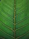 Photo of green leave skin Royalty Free Stock Photo