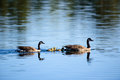 Canada Geese With Chicks Royalty Free Stock Photo
