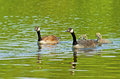 Canada Geese family close-up swimming. Royalty Free Stock Photo