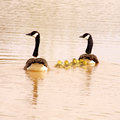 Canada geese family goose swimming in spring Royalty Free Stock Images