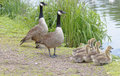 Canada geese family, hertfordshire, england