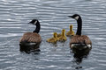 Canada geese family swimming in a pond in the adirondacks Stock Image